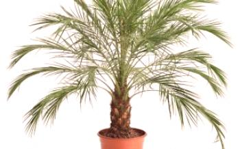 Palmier Robelena Date Palm