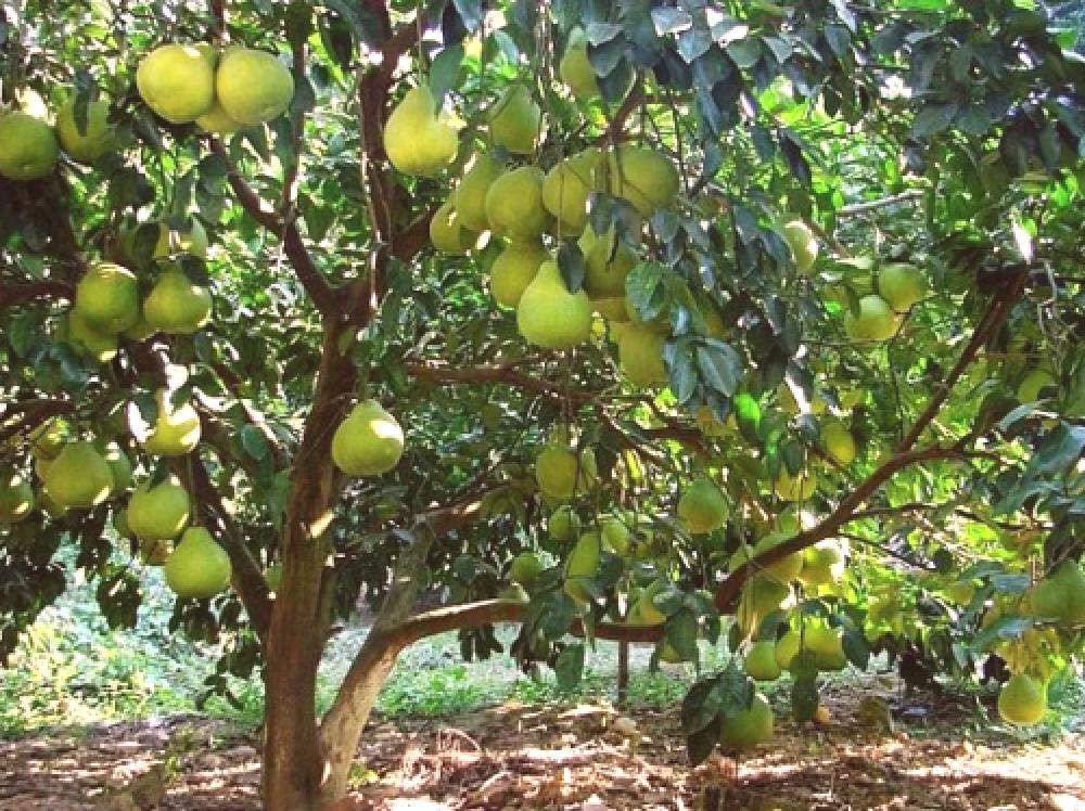 Pomelo (drzewo): wyrasta z kamienia, w domu, kiełkuje w doniczce
