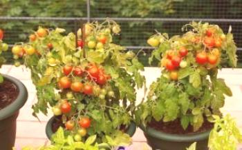 Balcon tomates variées miracle  Tomate