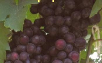 Pavlovsky Hybrid Grape Effect