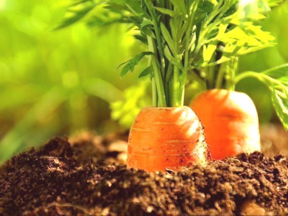 Cuando Plantar Zanahorias Para El Invierno El Momento Y Las Reglas Para Plantar En El Otono Que Variedades Son Adecuadas Las plantas de zanahoria se propagan mayormente por semillas que se siembran directamente en el suelo, que debe ser fértil, bien drenado y exento de por este motivo, los suelos arcillosos no son los más adecuados para el crecimiento de zanahorias. cuando plantar zanahorias para el