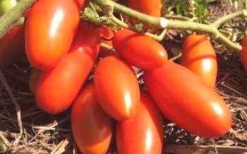 Cultiver une tomate Rocket Tomate