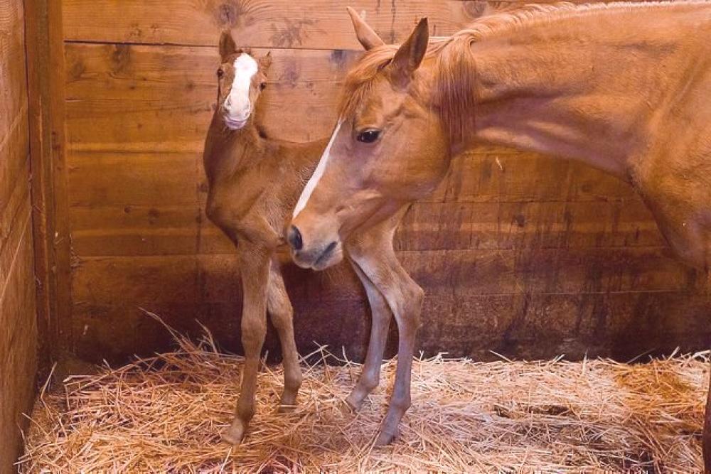 Poulain nouveau-né: alimentation, soins