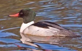 Патици любезни mergansers  патици