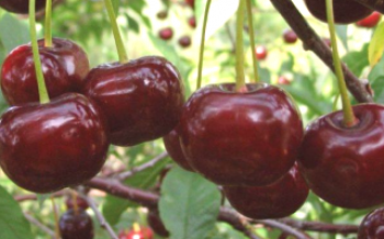 Удобства Cherries Nord Star Cherry